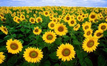 sunflower-11574.jpg