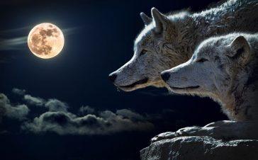 wolf-547203.jpg