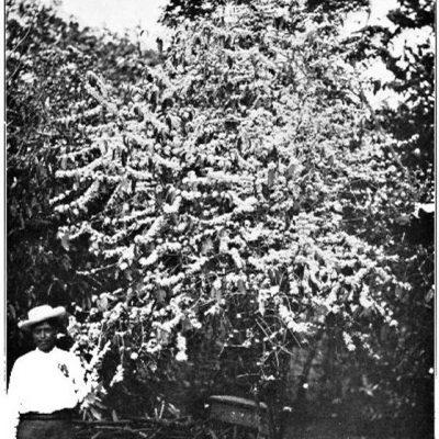 arbore de cafea în floare