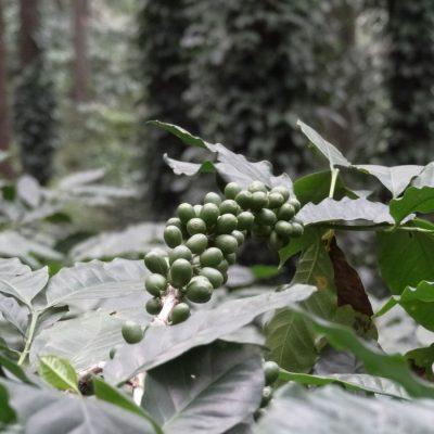 Boabe de cafea necoapte în Valea Araku, India