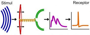 Reprezentarea schematică a urechii, propagarea sunetului