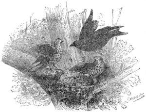 BUT THE BLACKBIRD ARRIVED AS A DART