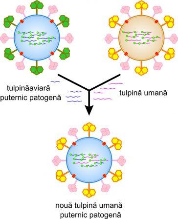Schimbarea antigenică sau reasortarea poate duce la tulpini noi și foarte patogene de gripă umană.