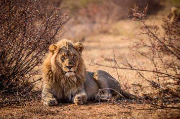 Lion - Leu